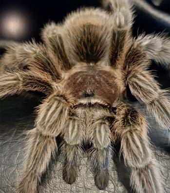 Beyoncé the Chilean Rose Tarantula