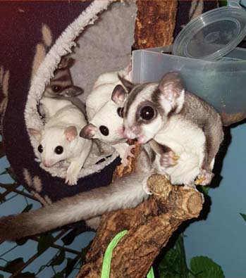 The Sugar Gliders