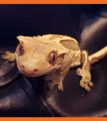 Yaki the Crested Gecko