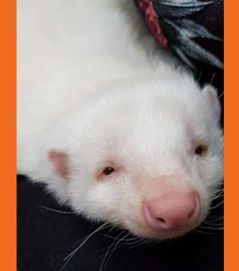 Yuki the Albino Skunk