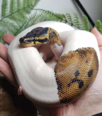 Zoolander the Royal Python
