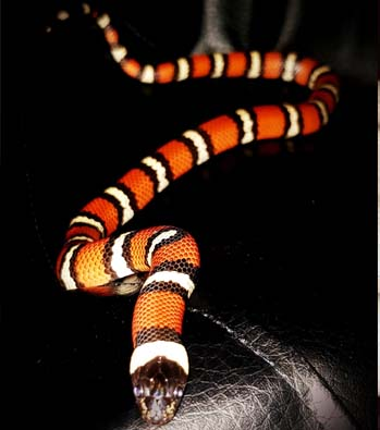 Zen The Milk Snake